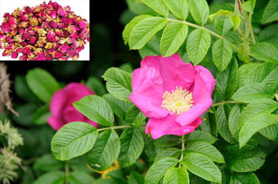 Rosa rugosa Thunb. (Family: Rosaceae)