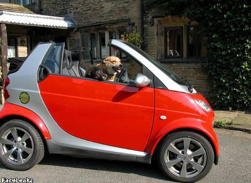 21 Foto Yang Harus Anda Lihat Setelah 21 Mei 2011 Berlalu - 13. Seekor anjing mengendarai Mobil Smart