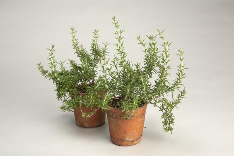 The garden plot herbs glorious herbs - Aromatic herbs pots multiple benefits ...