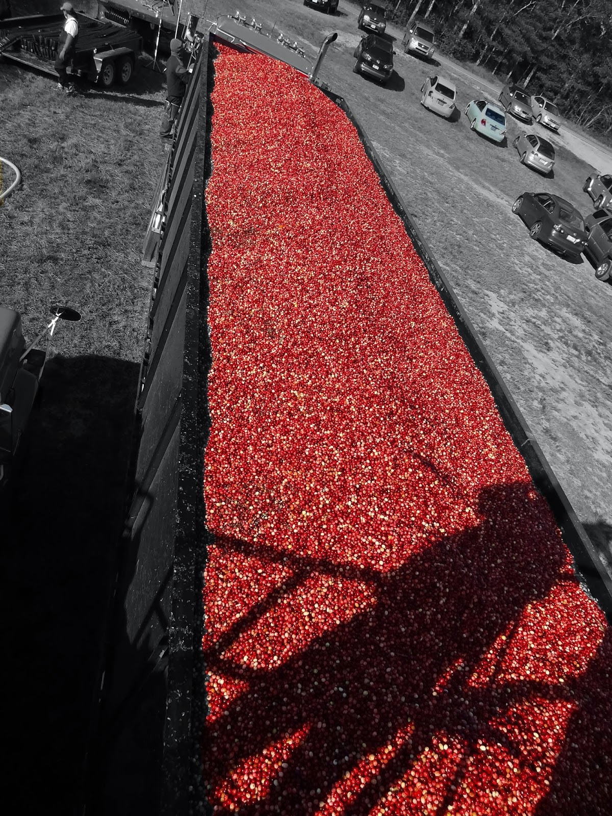 Joe S Retirement Blog A Cranberry Harvest Slocum Gibbs