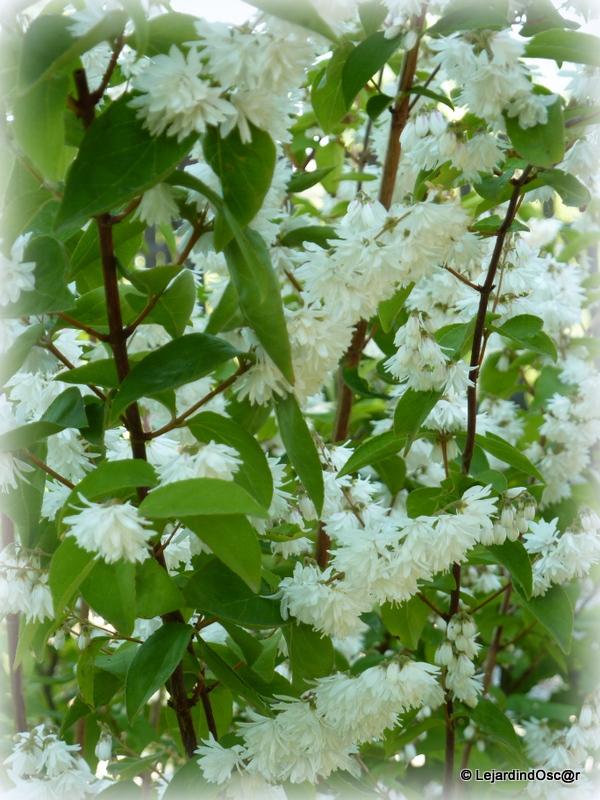 Le jardin d 39 oscar fleurs blanches au jardin for Fleurs au jardin