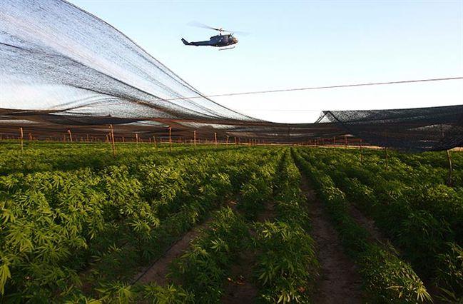 Ladang ganja terbesar di Mexico akan dimusnahkan