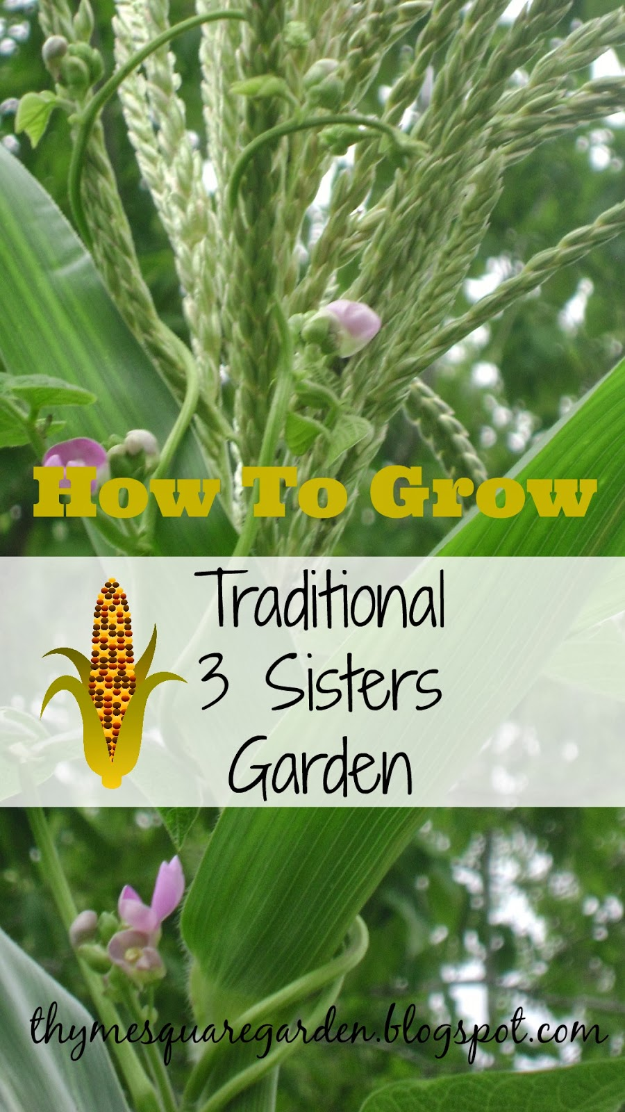 Tsg how to grow traditional 3 sisters garden Sisters garden