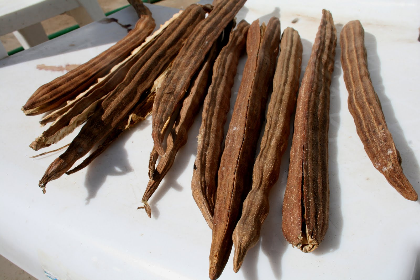 moringga seeds Within 10 days, you should have moringa sprouts from the seeds  if you are planting moringa oleifera seeds, do not despair if they do not sprout in that time.