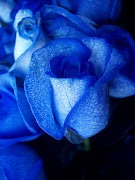 Blue Roses: Blue Roses . Blue Flowers . Blue Roses Pictures