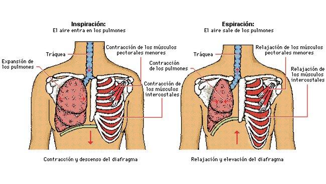 juanra fundamentos biologicos: QUE MUSCULOS INTERVIENEN EN LA ...