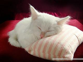 Gambar Kucing Persia yang Imut