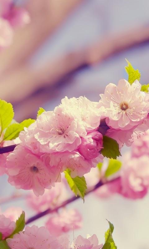 ảnh hoa đào đẹp cho điện thoại