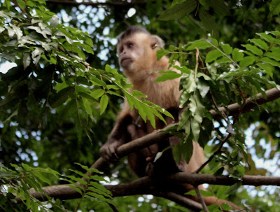 Macaco-prego uma  população razoável e preservada  no Parque Areião em Goiânia-Goiás