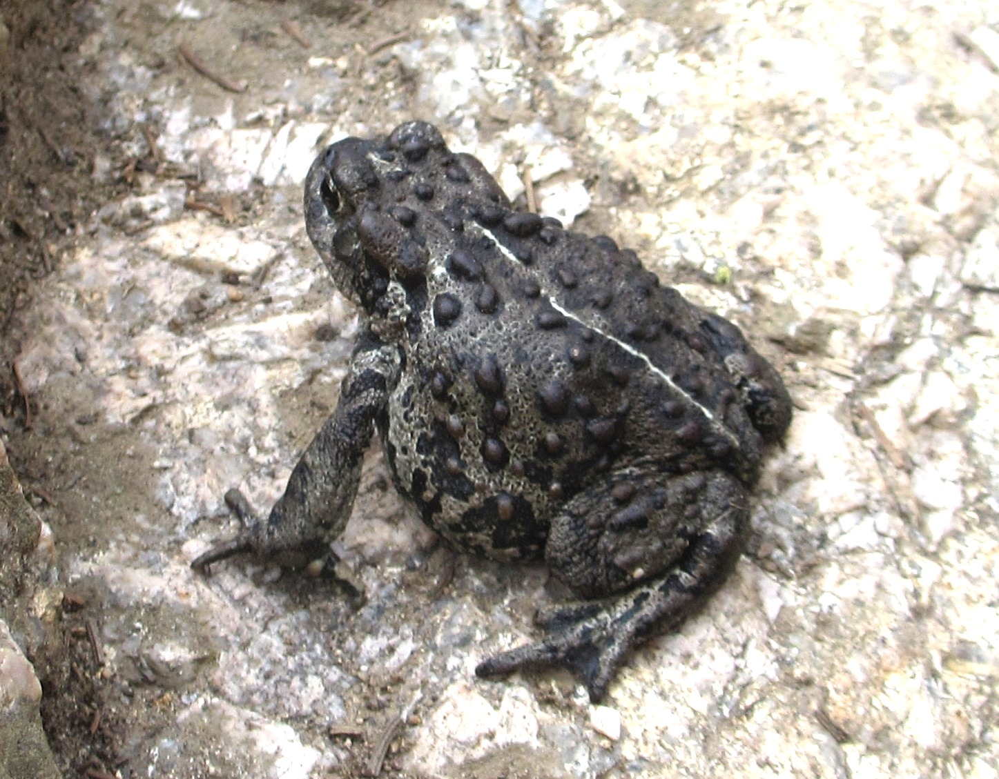 Cannundrums boreal toad sciox Choice Image