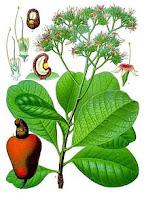 Caju (Anacardium occidentale Linn.)