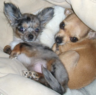 Cute Dogs: Long Haired Chihuahua Dogs Maltese Shih Tzu Brown And White