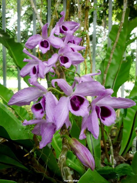 http://2.bp.blogspot.com/-VZO2X058BK4/TdnHkMQ71yI/AAAAAAAAAQc/CELzrsdak2Y/s1600/Dendrobium+anosmum+from+Sabah+02.jpg
