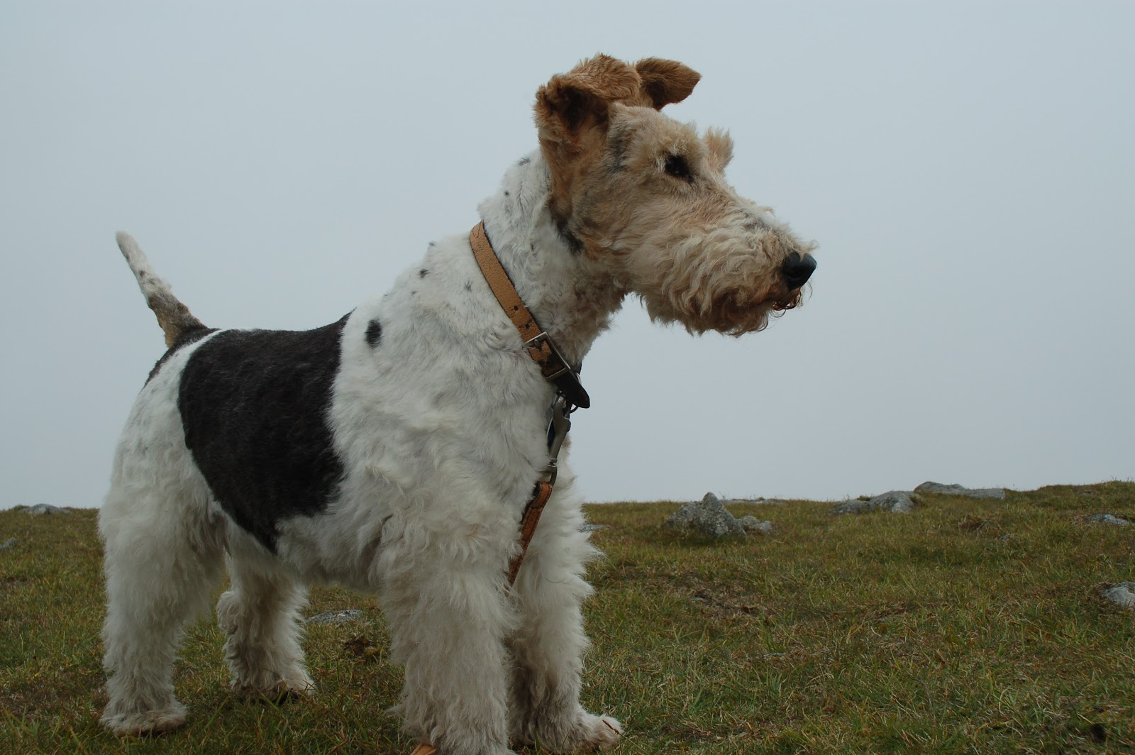 Amber\'s House: 1:12 Wire haired fox terrier