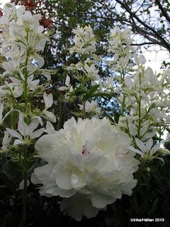 Mosebrinnande buske Dictamnus albus