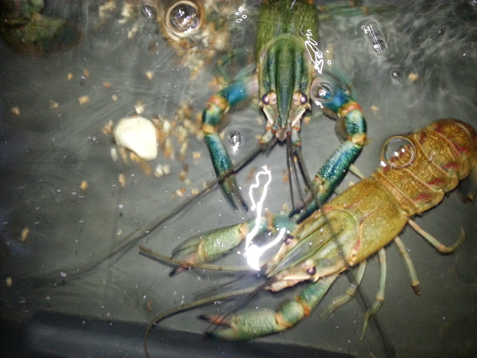 How to breed crayfish at home 37