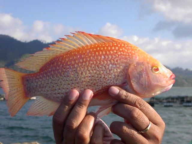 Artes de pesca vamos a pescar tilapia 4 parte for Tabla de alimentacion para tilapia roja