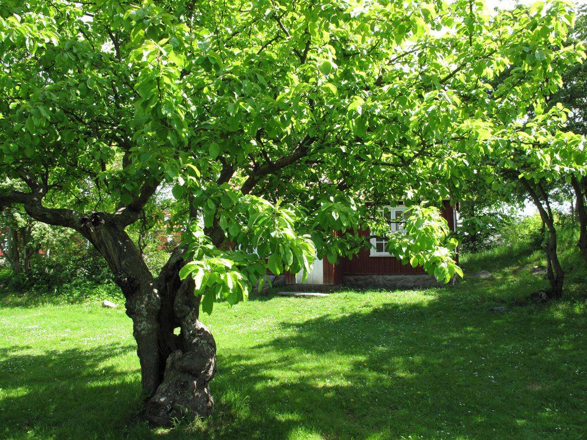 Landin Trädgård & Design blogg: Äppelträd