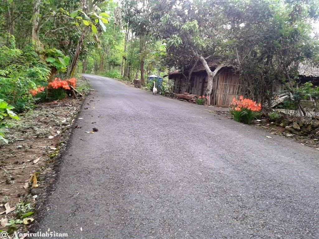 Bunga Amarilis tumbuh ditepian jalan arah ke Dlingo, Bantul