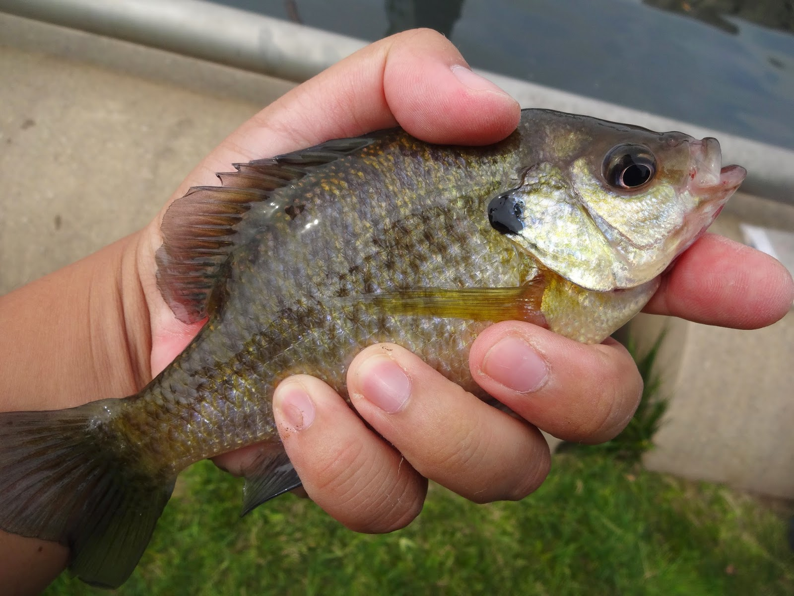 Extreme philly fishing september fishing sessions 09 21 for Bluegill fishing bait