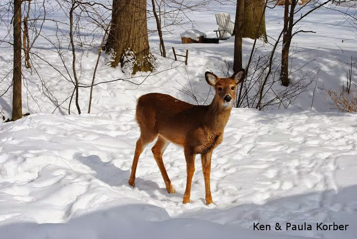 young deer in snow
