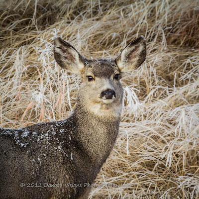Mule Deer, Black Hills, South Dakota, deer, Dakota Visions Photography LLC