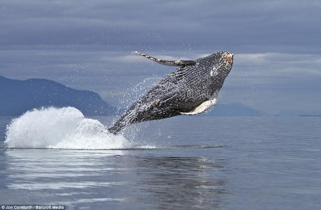صـــــور مذهـلة للحيتان الحدباء وهي ترقص في مياة المحيط الهادئ في ألاسكا  Humpback%20whales02