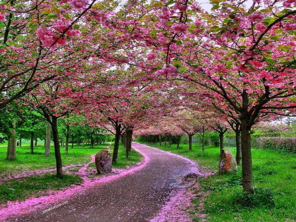 berguguran indah cherry blossom di osaka castle