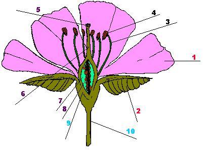 originan una nueva planta las flores estan formadas por tres partes ...