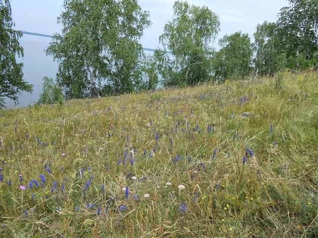Синие цветы на лугу у озера Большие Касли