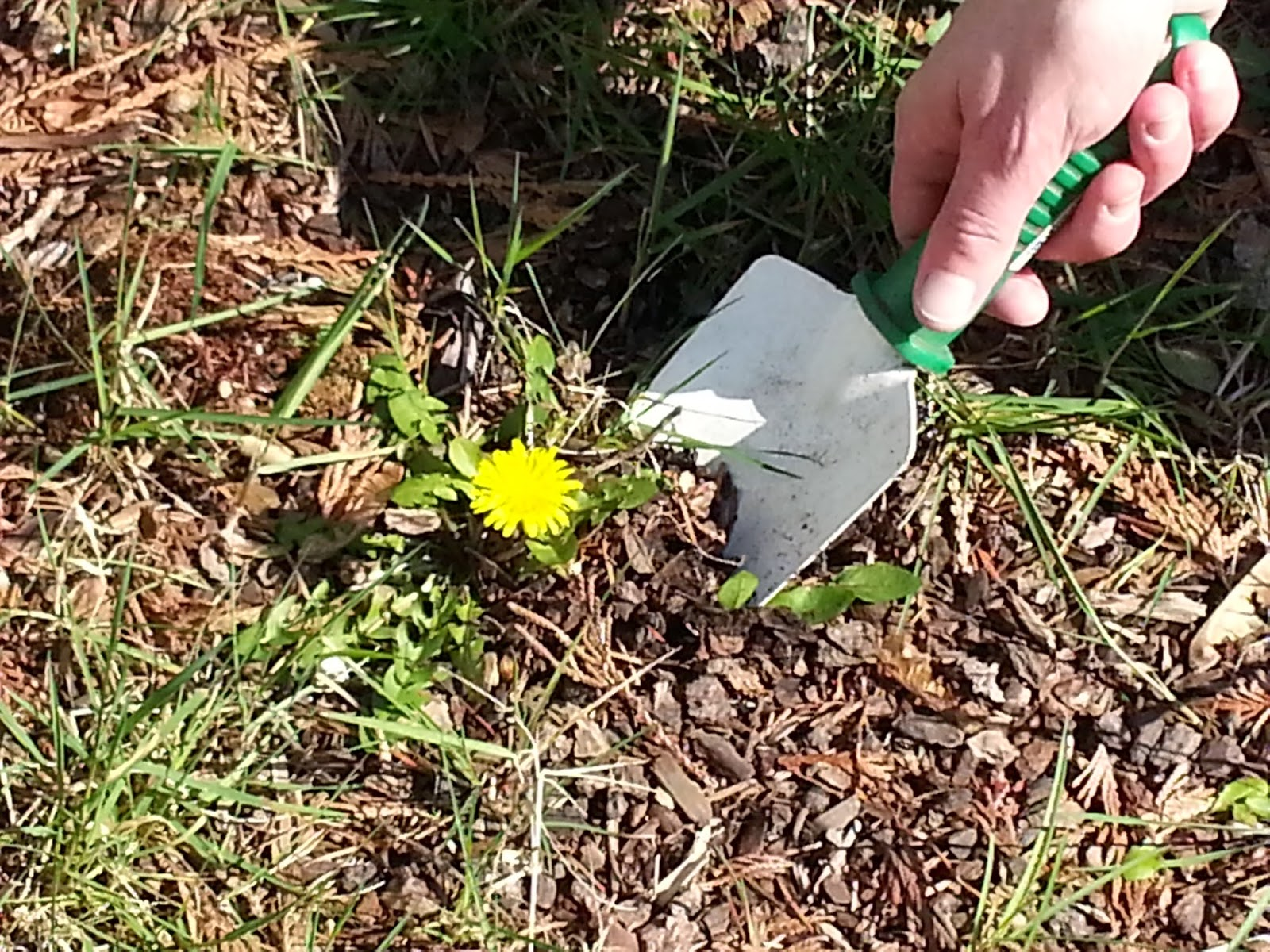 digging up dandelion weed from garden