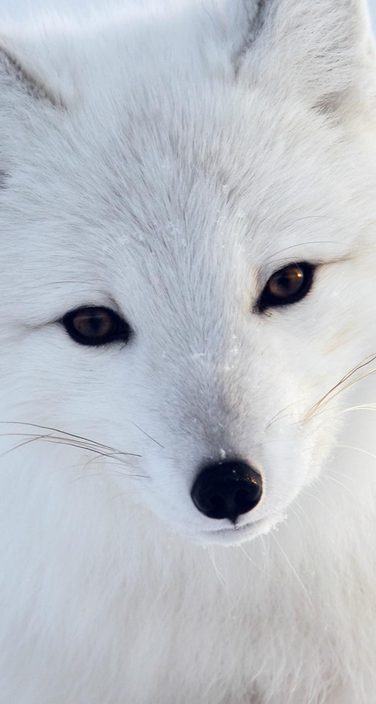 Animal iphone wallpaper - Artic Fox White Animal Cute Iphone 5s Wallpaper