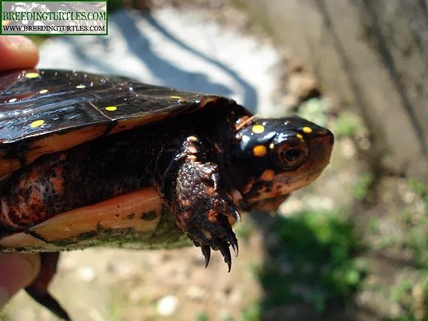 Clemmys guttata - Tortuga moteada