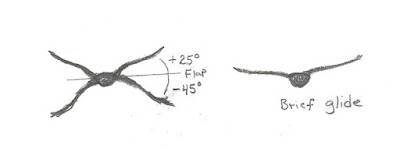 Figure 22: Head-on view of flapping angles of American Crow. Brief glides on slightly upraised wings.