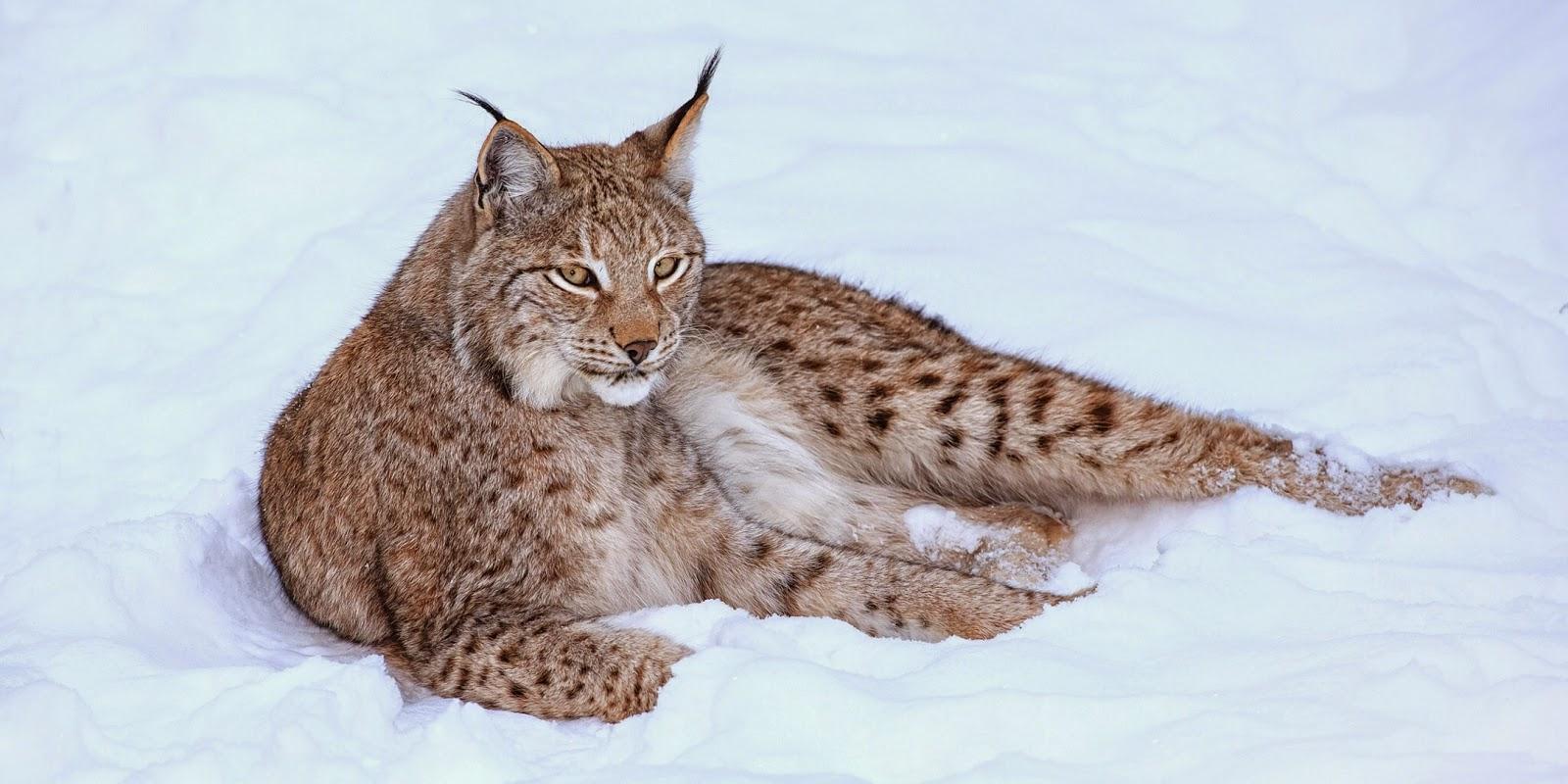 Eurasian Lynx