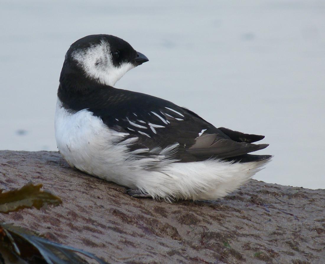 The RSPB: Little auk