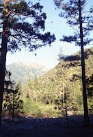 Pines in California