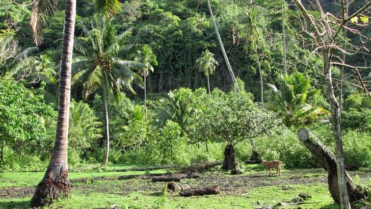 Prairie à Tautira sur la presqu'île de Tahiti