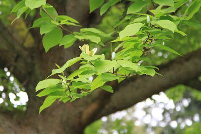 Dunn Gardens - Magnolia acuminata