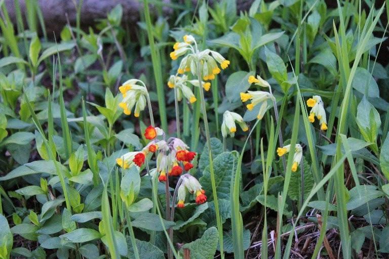 Primula odorosa tra iris e flox