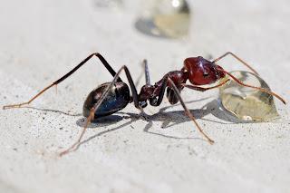 Gamabr semut sedang makan
