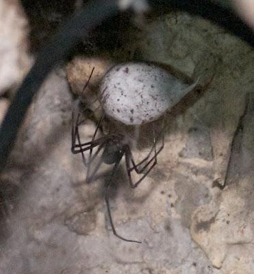 Tasmanian cave spider (Hickmania troglodytes)