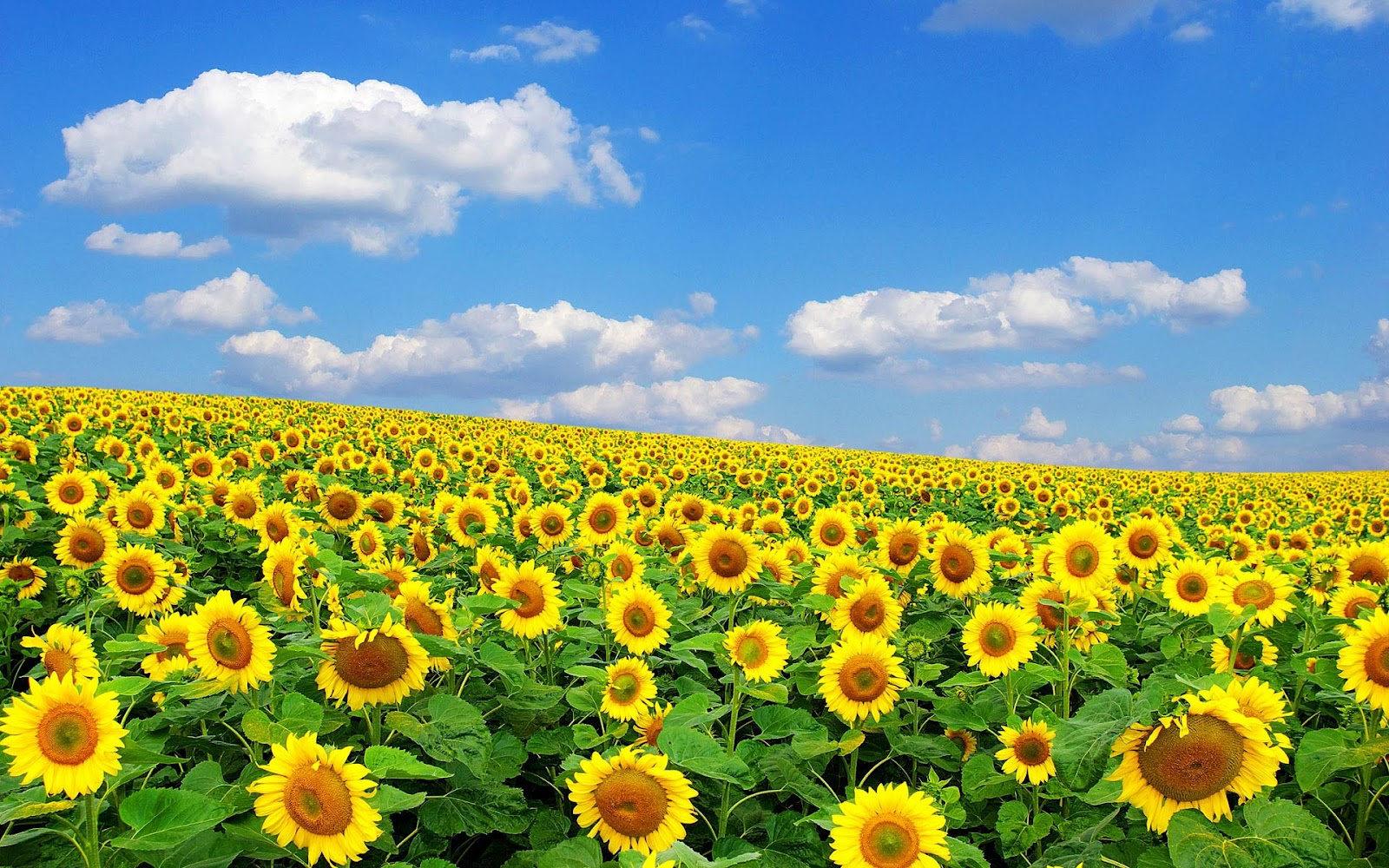 hd background: sunflower wallpapers