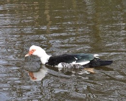Female Muscovy Duck