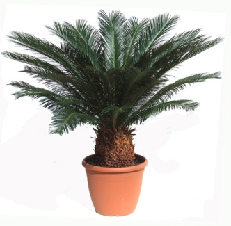 cycas revoluta cica del jap n descripci n cultivo y cuidados verde jard n. Black Bedroom Furniture Sets. Home Design Ideas