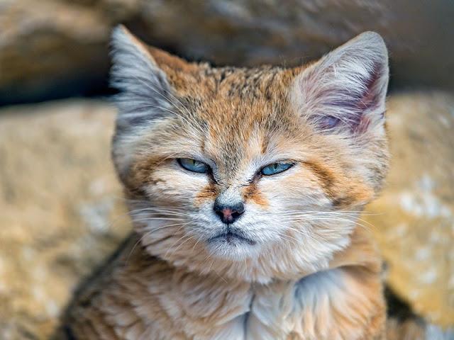 قطط الرمال