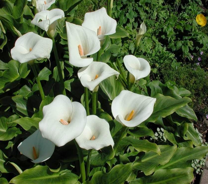 Especies de plantas jard n bot nico jose celestino mutis for Plantas ornamentales tropicales