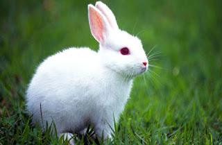 Inilah 7 Keunikan di balik Lucunya Kelinci dari daniel maulana