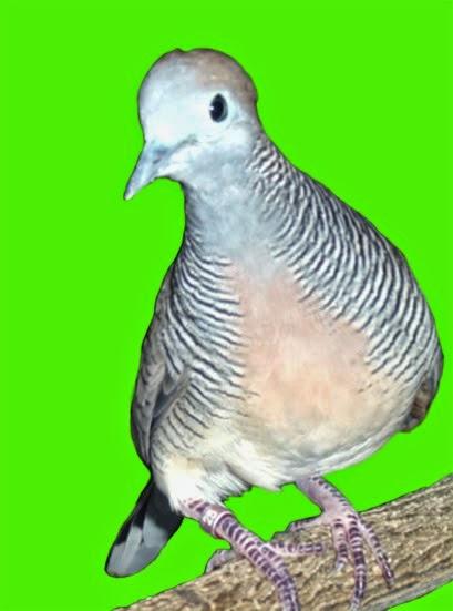 Foto Burung Perkutut Terbaik