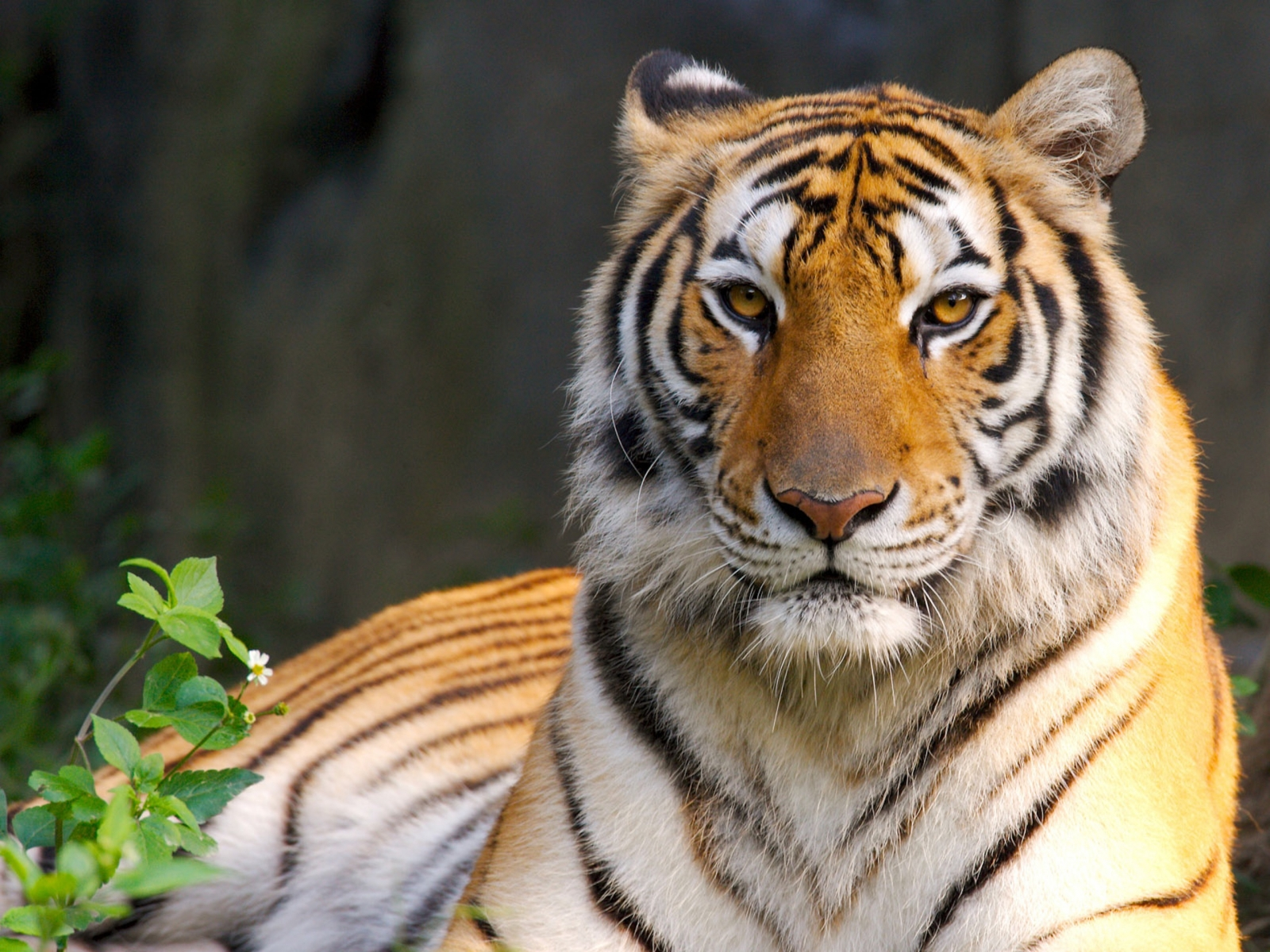 windows7 desktop wallpaper free download: tiger hq wide wallpaper